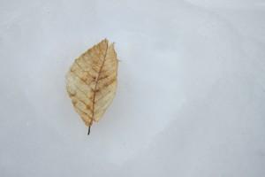 Fallen Beech Leaf, by Katie Spring