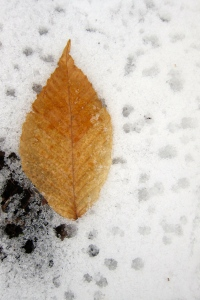 beech on snow