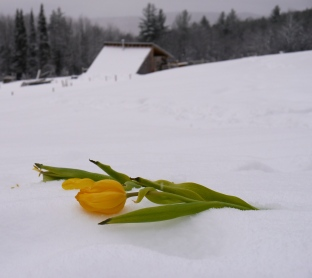 tulip in snow, Katie Spring