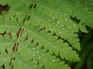 droplets on fern