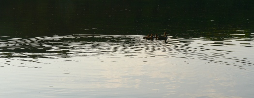 Ducks swimming away