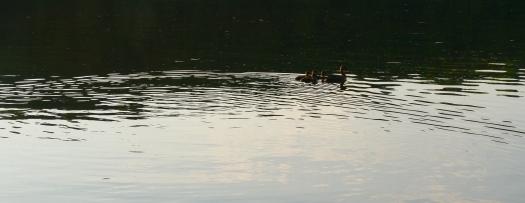 Ducks swimming away