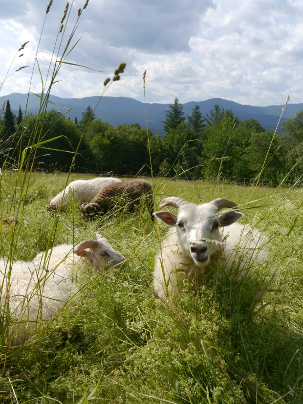 Icelandic Sheep in pasture