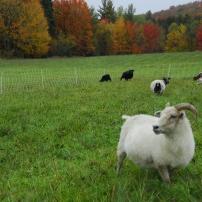 Benna and flock