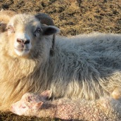 Benna and lambs