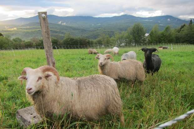 flock in pasture