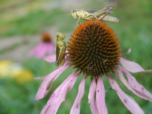 grasshoppers on coneflower