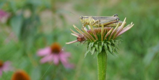 grasshopper on coneflower