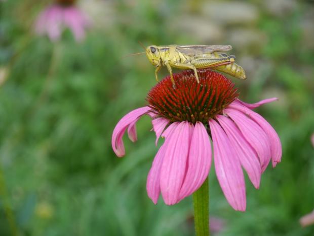 grasshopper on coneflower