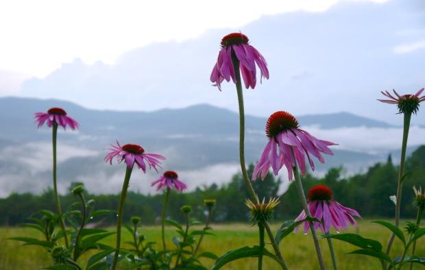echinacea: sunday gratitude
