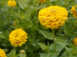Yellow Zinnias
