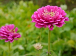 Purple Zinnias