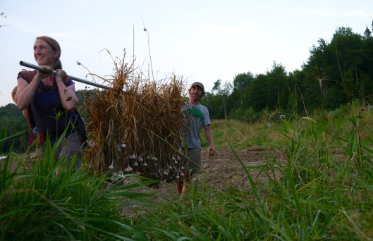 July: Bringing in the garlic harvest