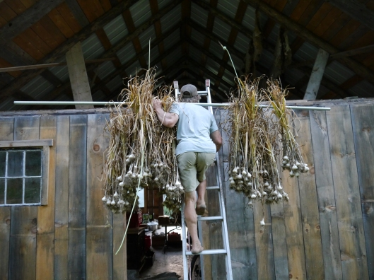 July: Bringing the garlic harvest in to cure