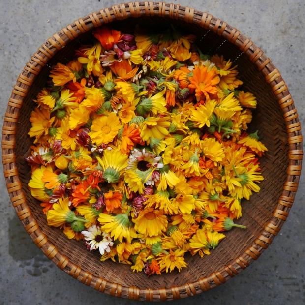 calendula harvest