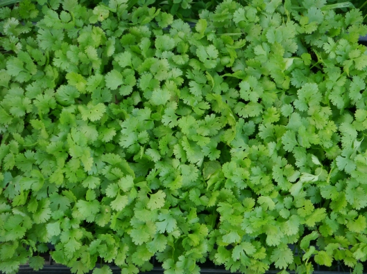 cilantro seedlings