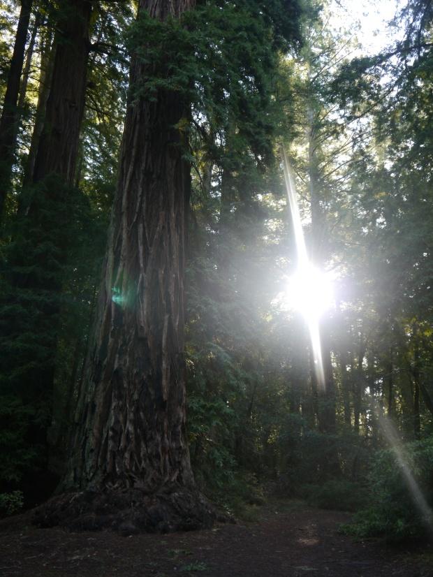 In Big Basin Redwoods SP