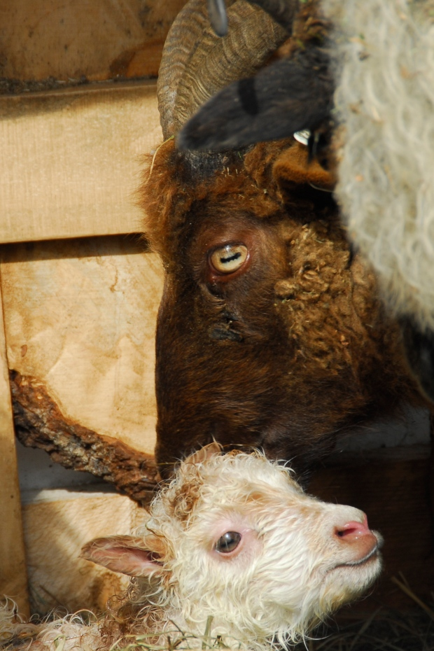 Deva with Acorn, our first lamb