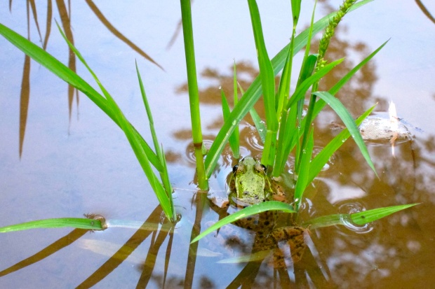 frog in rice paddy, summer 2012