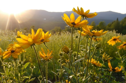 Rudbeckia evening